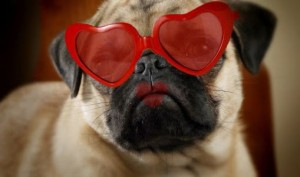 Valentine's Day love pug