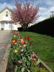 Spring Tulips in Ogunquit Maine