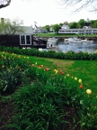 Spring Tulips and Boats in Perkins Cove, Ogunquit Maine